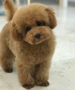 Cachorros de Caniche Toy (Disponibles)